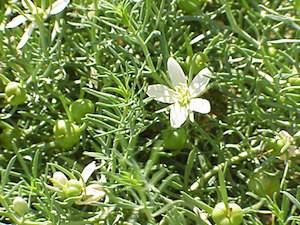 hermal-plant-bush-medicine
