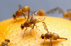 fruit-flies-gardening