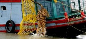 tiger-india-sunderbands