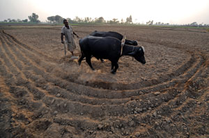 Exporting our future: Will the produce from Pakistan's fields go abroad? Photo: AFP