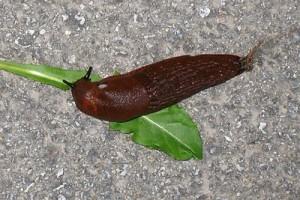 slug-gardening-crops